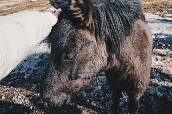 Friendly Icelandic Horse iceland